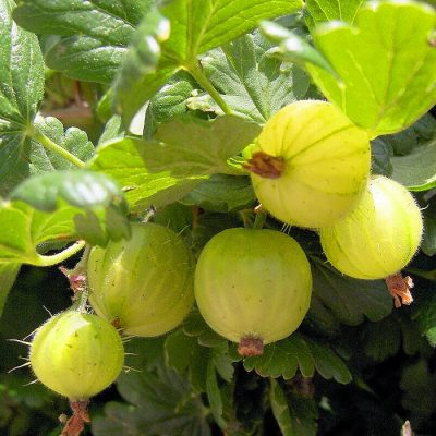 Bare-rooted fruitful shrub - Gooseberry white (Uva Spina) 854