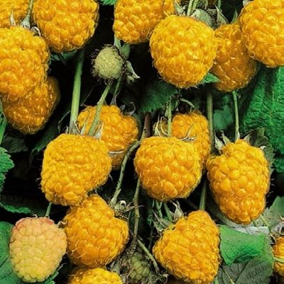Bare-rooted fruitful shrub - Raspberry yellow (Rubus) 856