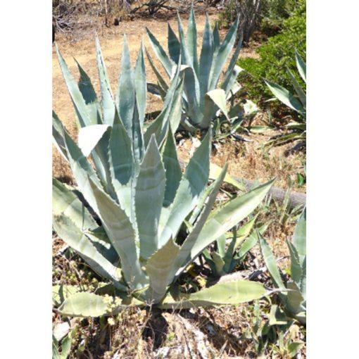 Σπόροι κάκτων και παχυφύτων - 12958 Agave americana