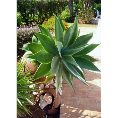 Cacti and Succulents Seeds -  12991 Agave attenuata
