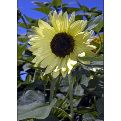 Sunflower Seeds – 13029 Buttercream F 1 (Helianthus annuus)
