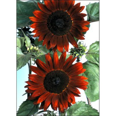 Sunflower Seeds – 13030 Claret F 1 (Helianthus annuus)