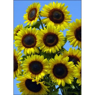 Sunflower Seeds – 13031 Full Sun F 1 (Helianthus annuus)
