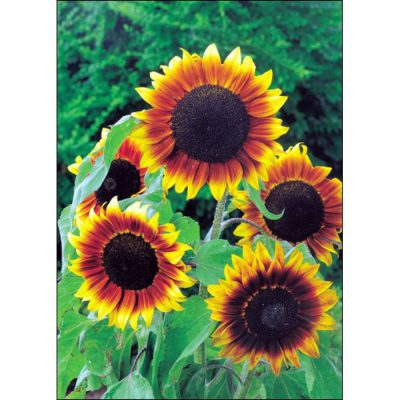 Sunflower Seeds – 13032 Orange Mahogany Bicolour F 1