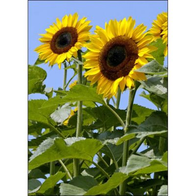 Sunflower Seeds - 13034 Titan F 1 (Helianthus annuus)