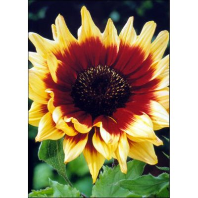 Sunflower Seeds – 13036 Magic Roundabout F 1