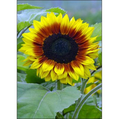 Sunflower Seeds – 13037 Solar Power F 1 (Helianthus annuus)