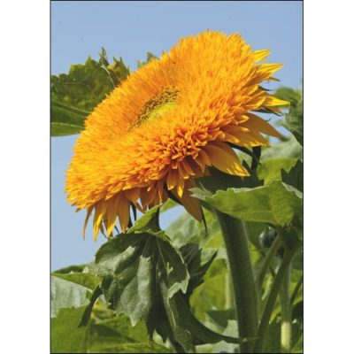 Sunflower Seeds – 13038 Orange Sun F 1 (Helianthus annuus)