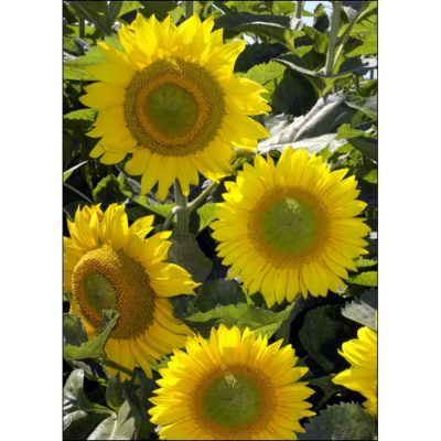 Σπόροι ηλίανθων – 13046 Summer Breeze F 1 (Helianthus annuus)