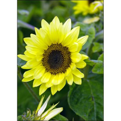 Sunflower Seeds – 13047 Garden Statement (Helianthus annuus)