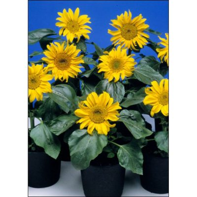 Sunflower Seeds – 13048 Sunspot (Helianthus annuus)