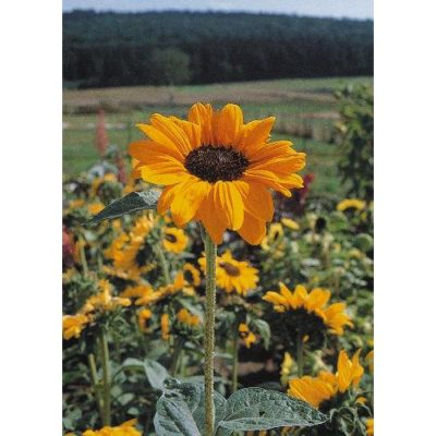 Sunflower Seeds – 13049 Soraya (Helianthus annuus)