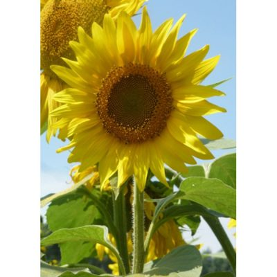 Sunflower Seeds – 13051 Golden Dream (Helianthus annuus)
