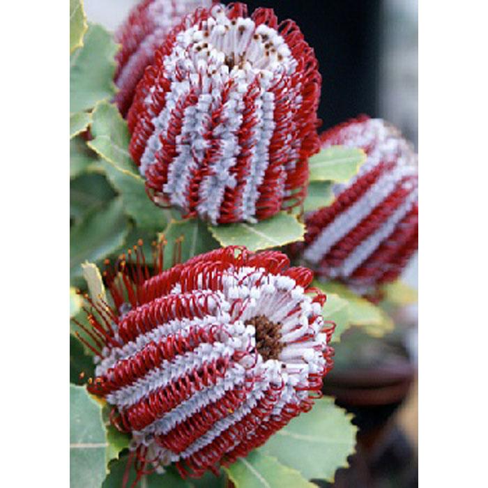 13705 Banksia coccinea
