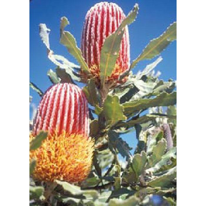 13706 Banksia menziesii