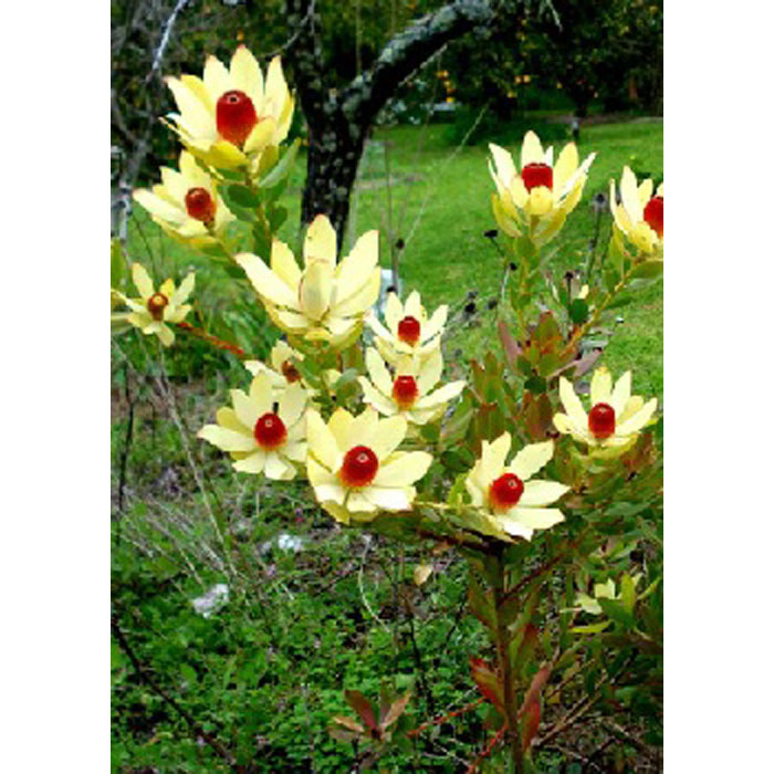 13709 Leucadendron laureolum