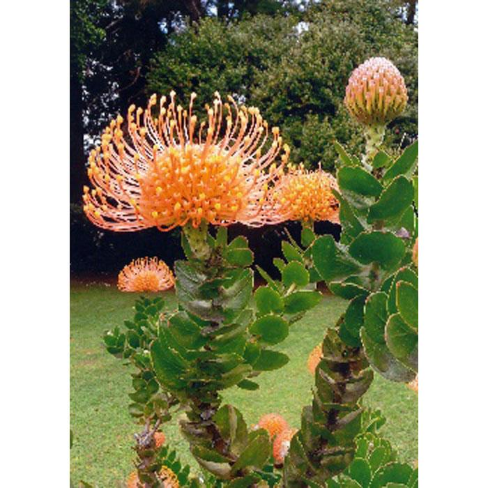 13710 Leucospermum cordifolium