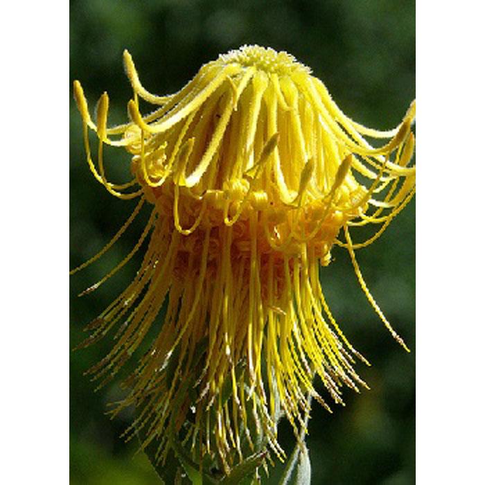 13711 Leucospermum rellexum var. luteum