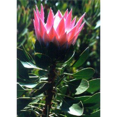 13712 Protea grandiceps