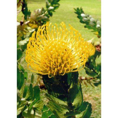 13715 Leucospermum cordifolium