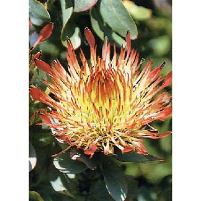 13718 Protea exima