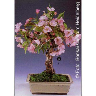 Σπόροι Bonsai – 14372 Prunus serulata