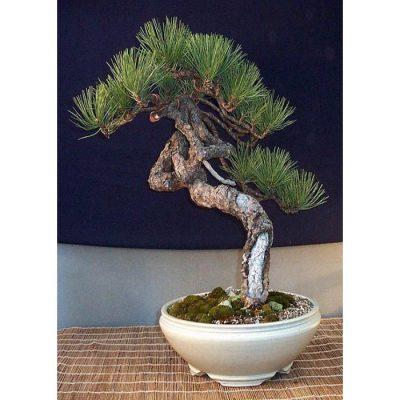 Σπόροι Bonsai – 14947 Pinus ponderosa