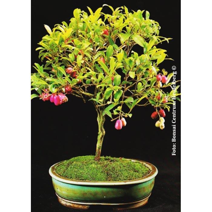 Bonsai Seeds 14982 Syzygium Paniculatum Syn Eugenia Myrtifolia Valentine E Shop