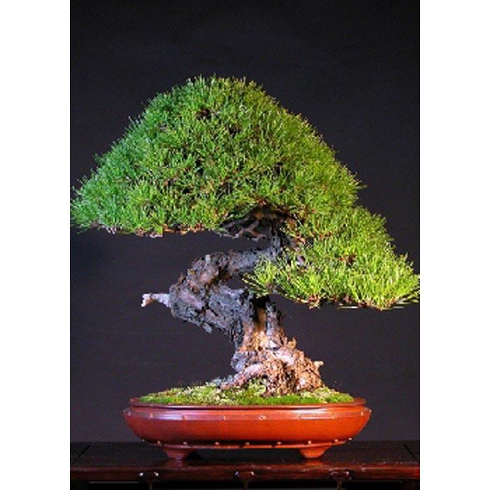 Σπόροι Bonsai – 14996 Pinus densiflora