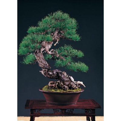 Bonsai Seeds –  14997 Pinus taiwanensis