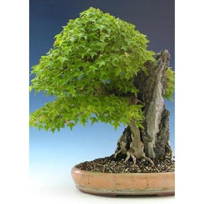 Bonsai Seeds –  14998 Acer buergerianum