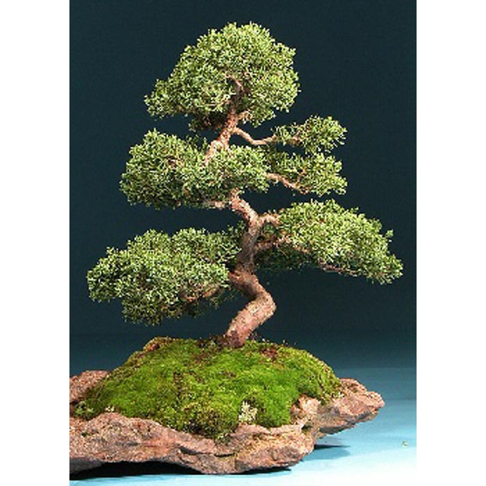 Σπόροι Bonsai – 14999 Juniperus chinensis