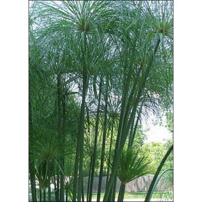 15804 Cyperus papyrus