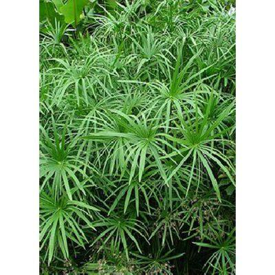 15809 Cyperus alternifolius syn. Cyperus involucratus
