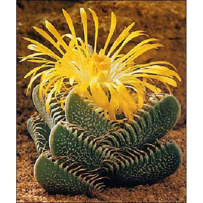 Cacti and Succulents Seeds -  19411 Faucaria trigrina