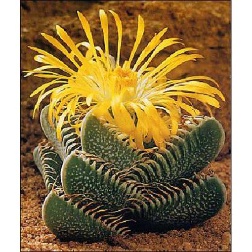 Cacti and Succulents Seeds -  19411 Faucaria trigrina