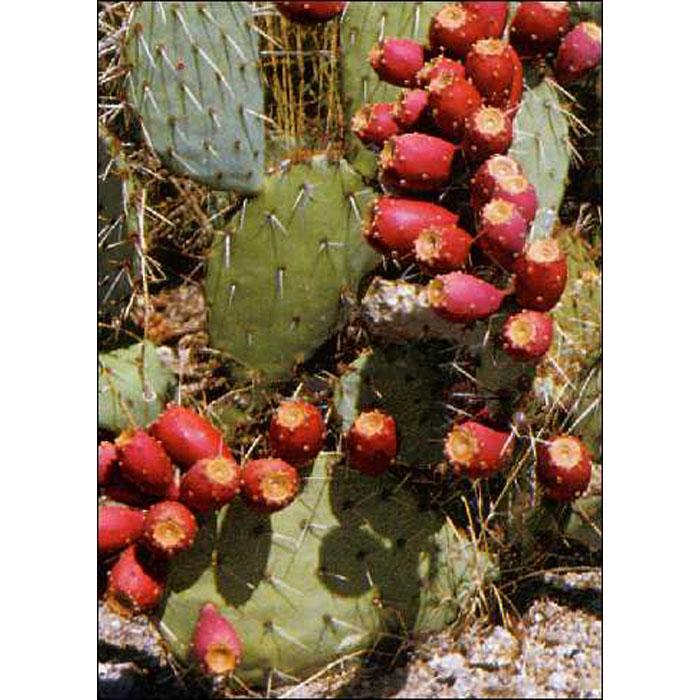 Σπόροι κάκτων και παχυφύτων - 19415 Optuntia Mixed