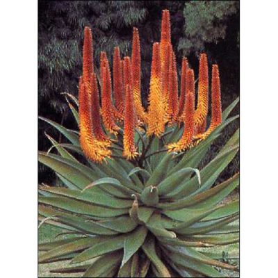 Cacti and Succulents Seeds – 19418 Aloe ferox