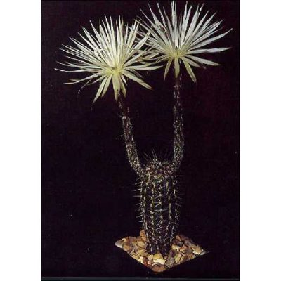 Cacti and Succulents Seeds – 19422 Echinopsis mirabilis