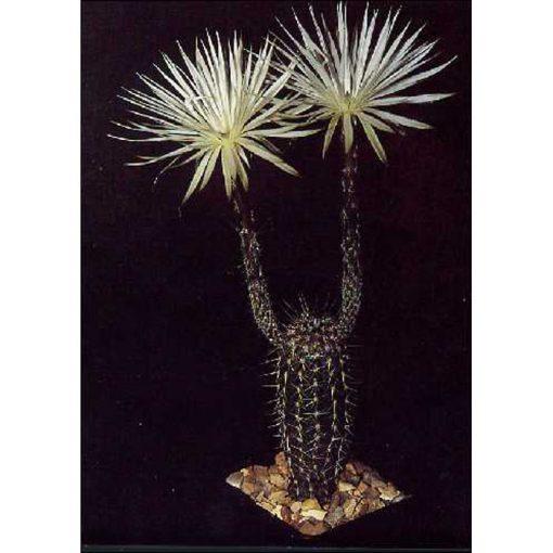 Σπόροι κάκτων και παχυφύτων – 19422 Echinopsis mirabilis