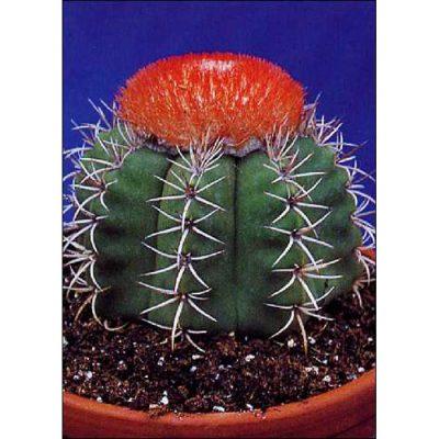 Cacti and Succulents Seeds – 19423 Melocactus matanzanus