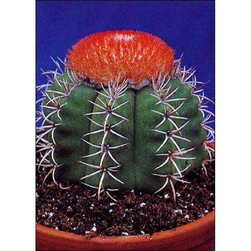 Σπόροι κάκτων και παχυφύτων – 19423 Melocactus matanzanus