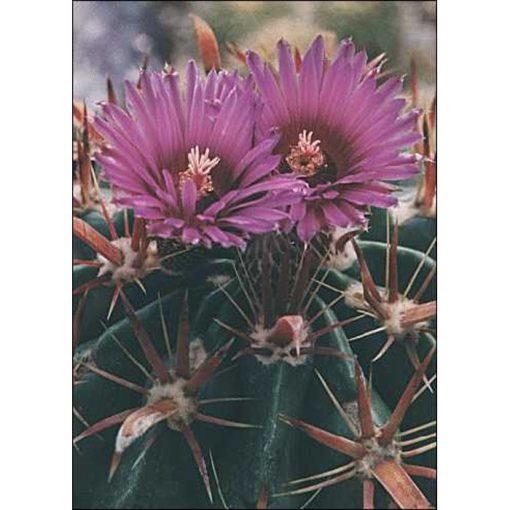 Cacti and Succulents Seeds – 19424 Ferocactus latispinus