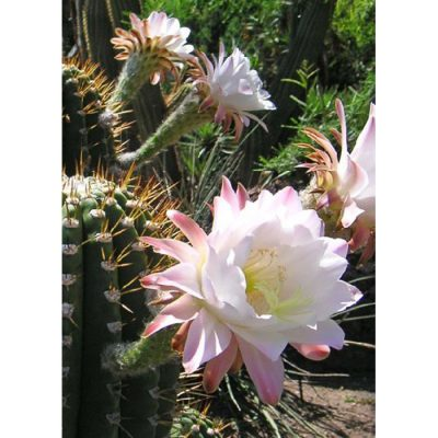 Cacti and Succulents Seeds – 19431 Cereus huntingonianus