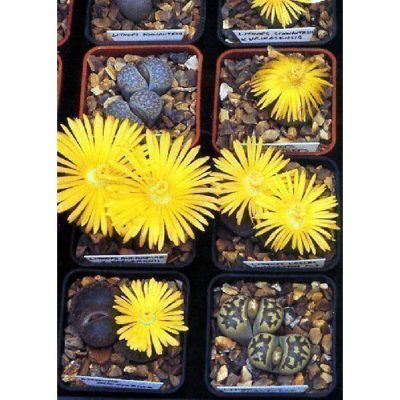 Cacti and Succulents Seeds – 19432 Lithops dorotheae