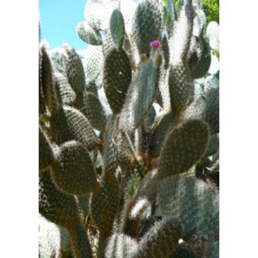 Σπόροι κάκτων και παχυφύτων – 19442 Opuntia pilifera