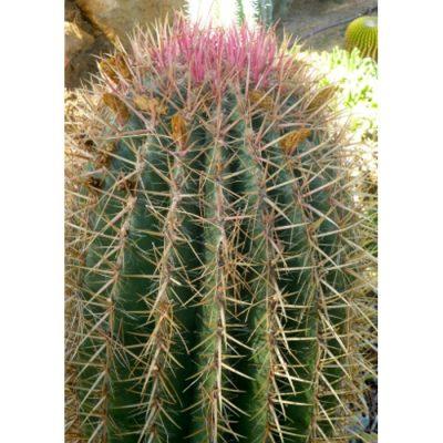 Σπόροι κάκτων και παχυφύτων – 19448 Ferocactus stainesii syn pilosus