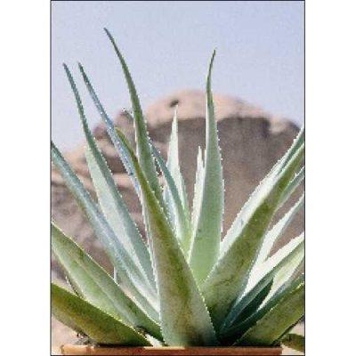 Σπόροι κάκτων και παχυφύτων – 19954 Aloe vera syn. Aloe barbadensis Miller