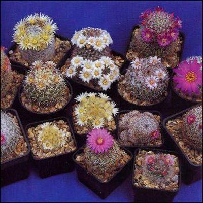 Σπόροι κάκτων και παχυφύτων – 19980 Mammillaria Mixed