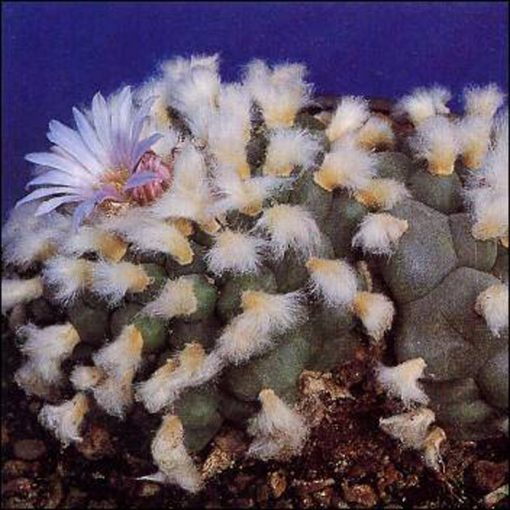 Σπόροι κάκτων και παχυφύτων – 19982 Peyotl - Peyote Lophophora williamsii